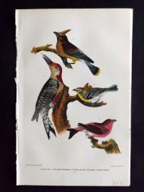 Alexander Wilson 1877 Bird Print. Cedar Bird, Red Beltied Woodpecker
